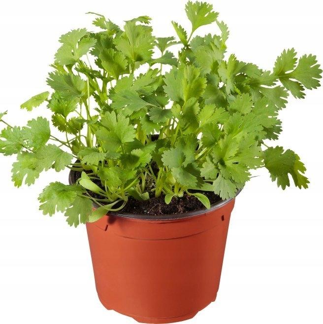 растение кинза фото лично посещал