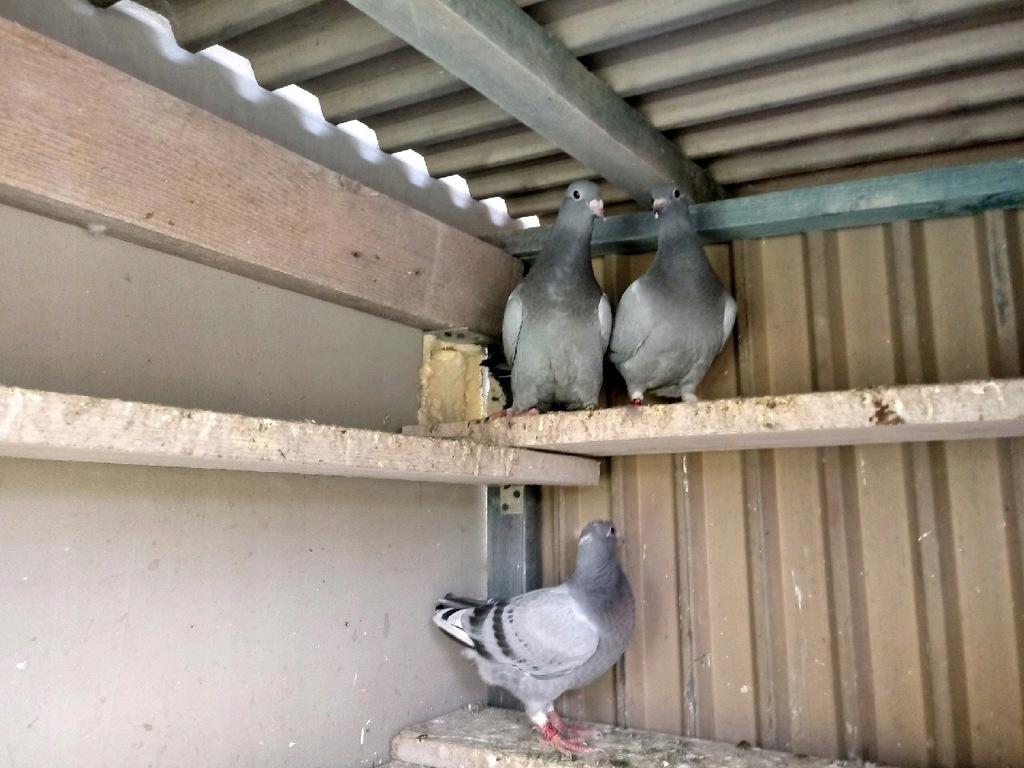 Oddam Gołębie , po gołębiach lotowych !