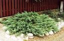 Jałowiec sabiński Tamariscifolia płożący Fi 30 cm