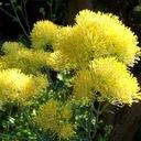 RUTEWKA piękne kwiaty na rabatę