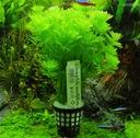 Легко Limnophila Sessiliflora растения для аквариум