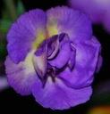 Achimenes VENICE  - 1 kłącze - duże kwiaty    hoja