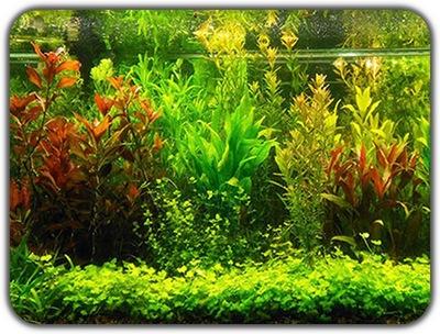 комплект ! растения для аквариум 14gat. (Не IN VITRO)