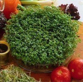 КРЕСС-салат семена пророщенные 500?