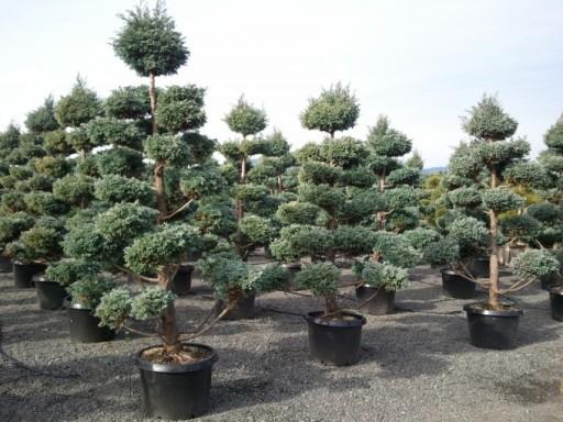 Cyprysik boulevard uformowany na bonsai 60-80cm
